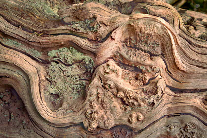 An ancient, lichen-encrusted piece of wood, once a majestic tree, forms a natural piece of art.