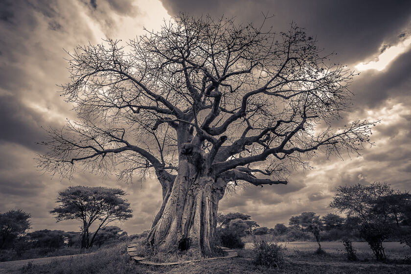 A leafless baobab tree (Adansonia digitata) in Tarangire National Park, Tanzania.