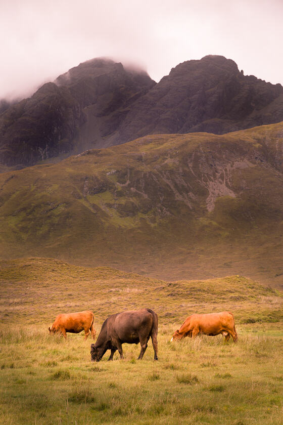 3 cows grazing, with the Cuillin peak of  Blà Bheinn in the background.