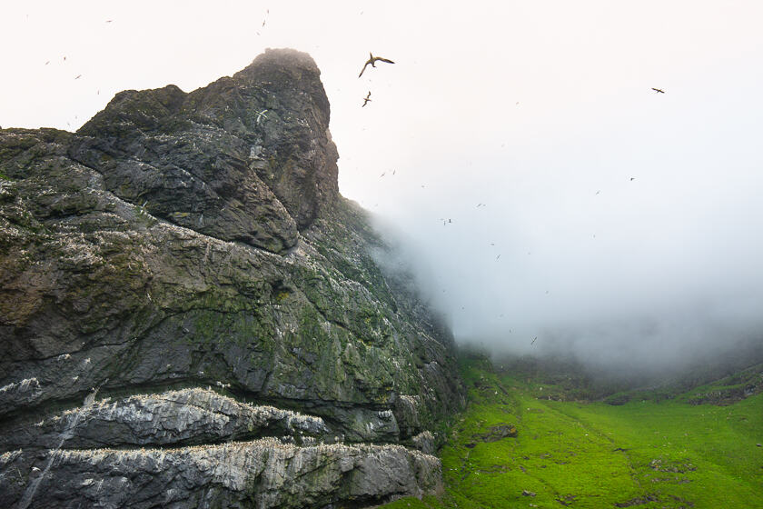 Northern gannet colony at Boreray, St. Kilda