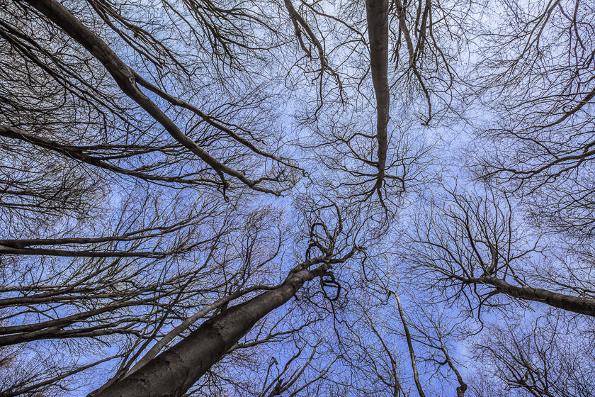 A leafless canopy and blue sky in Shoreham Wood, Kent.