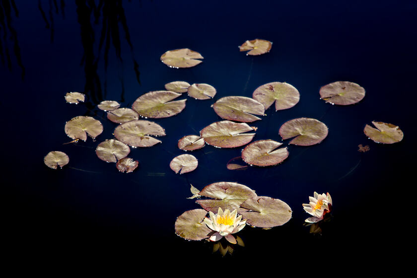 A cluster of water lilies with flowers in the Monet Pool at Denver Botanic Gardens.