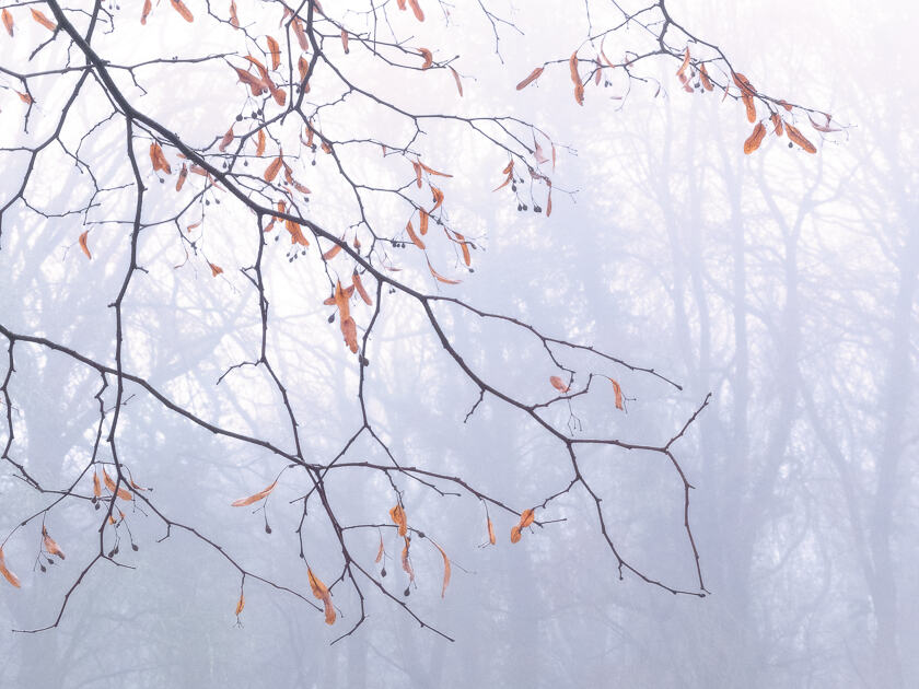 A small-leaved lime tree with the last of its fruits in winter, with a misty woodland background.