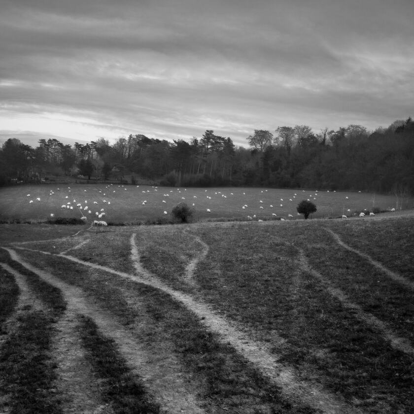 Tyre tracks leading towards a field of sheep  in Shoreham, Kent.