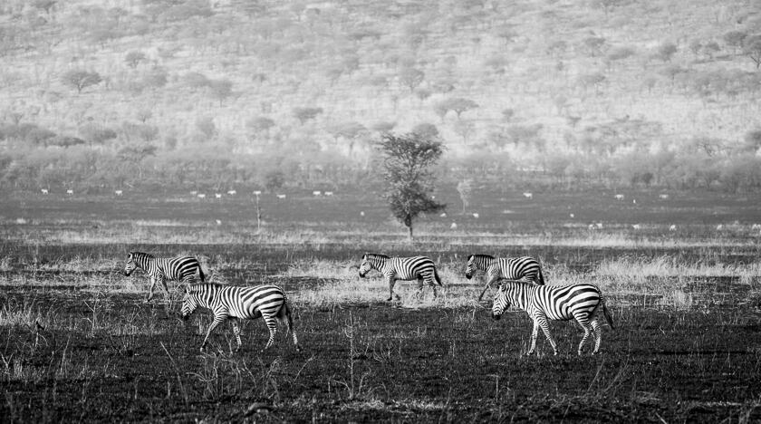 Five Grant's zebras walking across a plain in Serengeti National Park, Tanzania.
