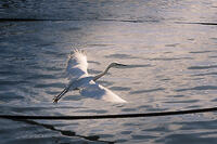A little egret (Egretta garzetta) taking off from a cable over the river Danube in evening light.