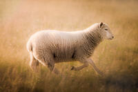 A sheep running in warm sunlight in a field in Shoreham, Kent