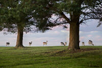 Fallow deer on a hill top with two Scots Pine trees in Knole Park.
