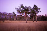 Three pine trees lit by sunset at Chobham common in Surrey.