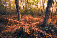 Two birch trees stand among densely packed, red-brown bracken in Autumn in a woodland, with the sun close to the horizon.