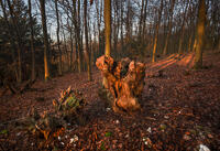 A tree stump in Meenfield Wood