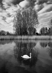 A mute swan swimming in a pond at Caldicot Castle, with a tree and reflection in the background.