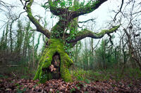 A thick-trunked oak tree in Crofton woods, leafless and covered in ivy and moss in winter.