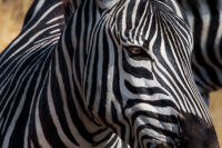 A close-up of a Grant's zebra (Equus quagga boehmi) in Ngorongoro Conservation Area.